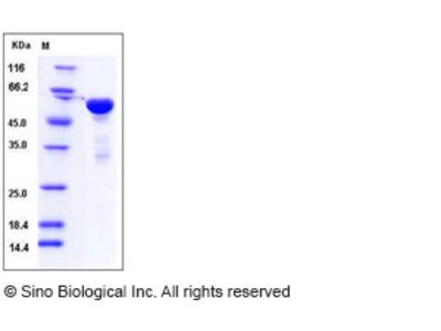 Human 14-3-3 eta / YWHAH Protein (GST Tag)