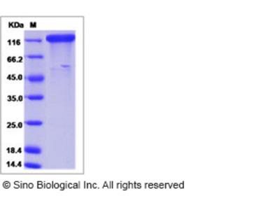 Human ICAM 5 / Intercellular adhesion molecule 5 Protein (ECD, Fc Tag)