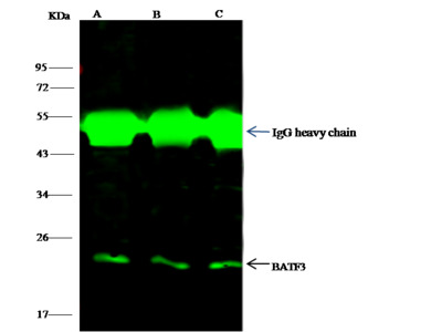BATF3 Antibody, Rabbit PAb, Antigen Affinity Purified