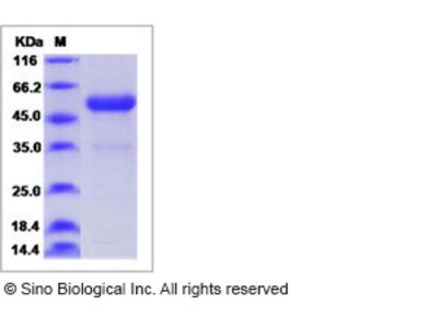 Human PLGF Protein (Fc Tag)