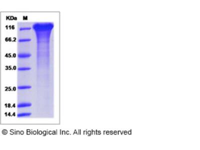 Human ICAM 5 / Intercellular adhesion molecule 5 Protein (ECD, His Tag)