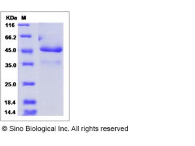 Human ICAM 5 / Intercellular adhesion molecule 5 Protein (Fc Tag)