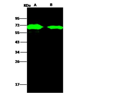 AcmNPV Envelope glycoprotein gp64 / AcmNPV-gp64 Antibody, Rabbit PAb, Antigen Affinity Purified