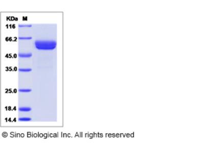 Human CLEC1A / CLEC-1 Protein (Fc Tag)