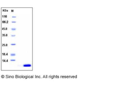 Human S100A12 / CAGC / Calgranulin-C Protein