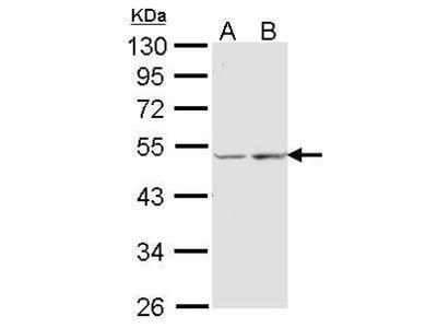 Anti-COX15 antibody [N1C1]