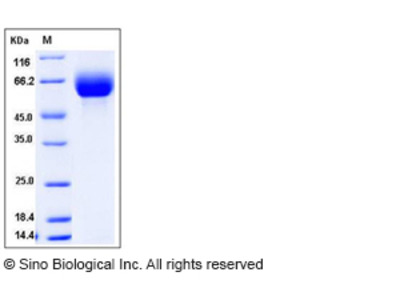 Mouse SLC3A2 / CD98 Protein (His Tag)