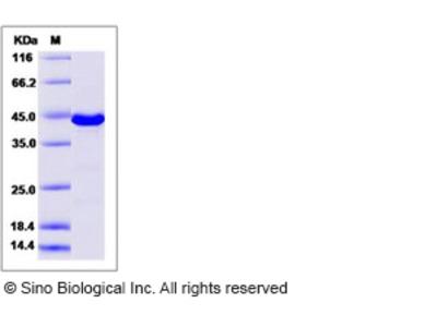 Human ERK3 / MAPK12 / P38-gamma Protein