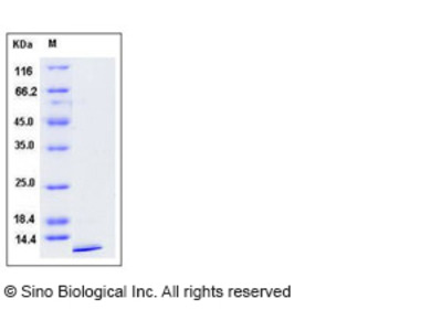 Mouse Uteroglobin / SCGB1A1 Protein (His Tag)