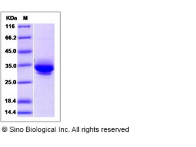 Human JAM3 / JAM-C Protein