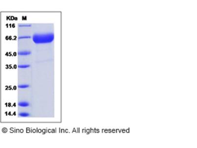 Rat CLEC1A / CLEC-1 Protein (Fc Tag)