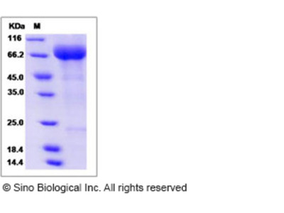 Human SIGLEC5 Protein