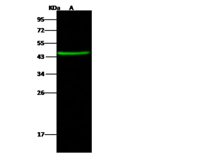CCDC42 Antibody, Rabbit PAb, Antigen Affinity Purified