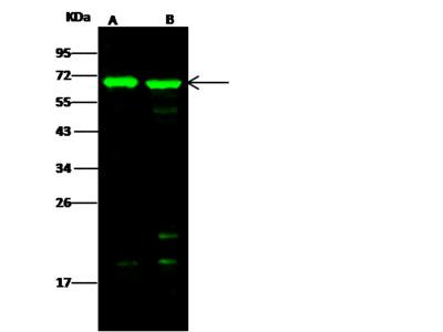 BIN2 / BRAP-1 Antibody, Rabbit PAb, Antigen Affinity Purified