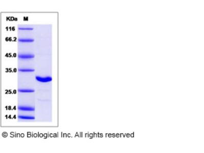 Human NAA10 / ARD1A Protein