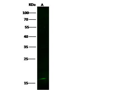LSM1 Antibody, Rabbit MAb