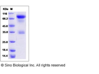 Cynomolgus CD62L / L-Selectin / SELL Protein (Fc Tag)