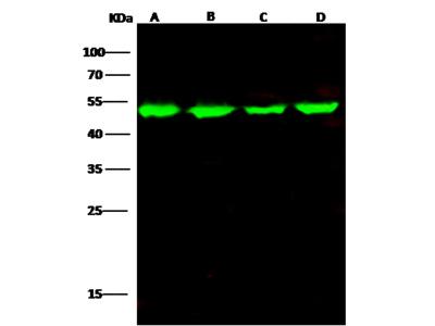 ENO3 / beta-enolase Antibody, Mouse Mab