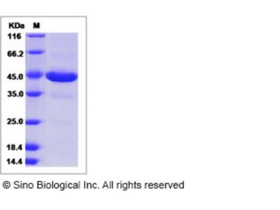 Human ZG16 / ZG16P Protein (Fc Tag)