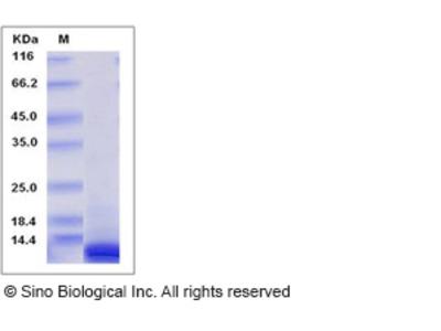 Human CXCL10 / Crg-2 Protein