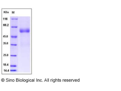 Human FAM3B Protein (Fc Tag)