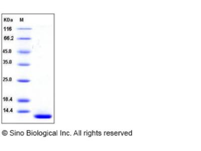Mouse β-NGF / Beta-NGF Protein