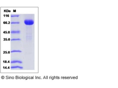 Mouse FSTL1 Protein (Fc Tag)