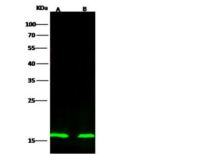CDKN2A Antibody, Rabbit PAb, Antigen Affinity Purified