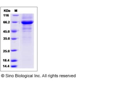 Human FAIM3 Protein (Fc Tag)