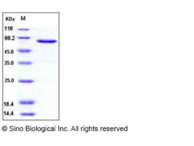 Human JAM-A / F11R Protein (Fc Tag)
