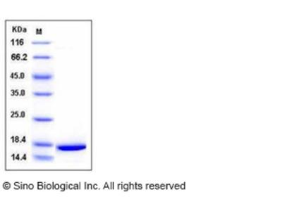 Mouse IL-1 alpha / IL1A / IL1F1 Protein