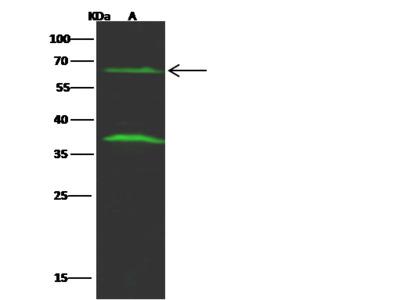 FCRL2 / FcRH2 Antibody, Rabbit PAb, Antigen Affinity Purified