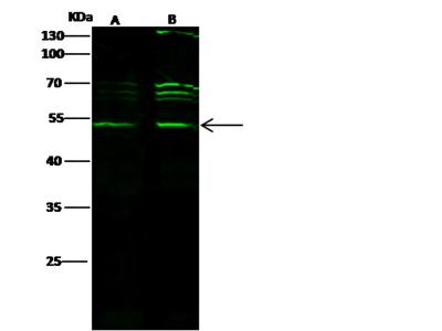 CTBP1 Antibody, Rabbit PAb, Antigen Affinity Purified