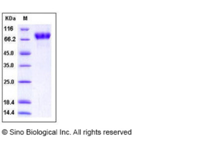 Human ICAM-2 / CD102 Protein (His & Fc Tag)