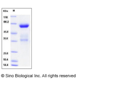 Mouse CLEC10A / MGL1 / CD301 Protein (Fc Tag)