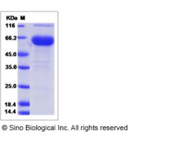 Rat FOLR1 / Folate Receptor 1 Protein (Fc Tag)