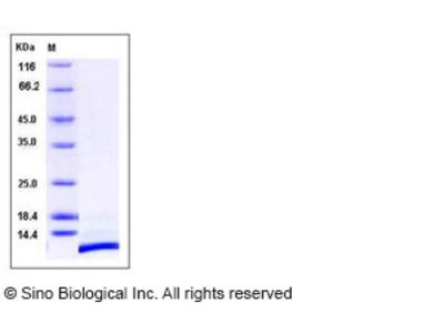 Human CXCL12 / SDF-1 Protein