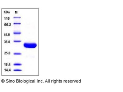 Human SCGN / Secretagogin Protein (His Tag)