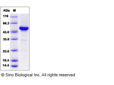 Human NAA10 / ARD1A Protein (His & GST Tag)