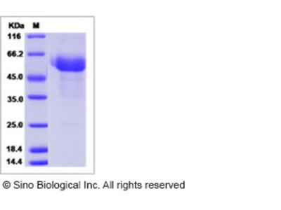 Human HAI-2 / SPINT2 Protein (ECD, Fc Tag)
