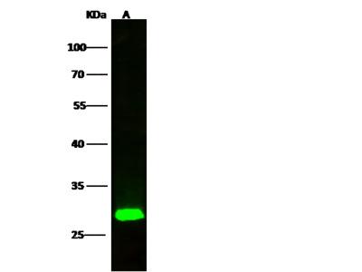 ETHE1 / HSCO Antibody, Rabbit MAb