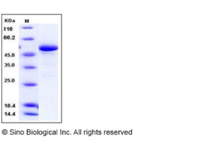 Human 14-3-3 epsilon / YWHAE Protein (GST Tag)