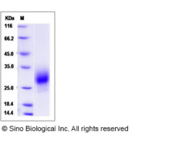 Mouse PLGF Protein
