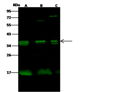 NKG2A / NKG2 / CD159A / KLRC1 Antibody, Rabbit PAb, Antigen Affinity Purified