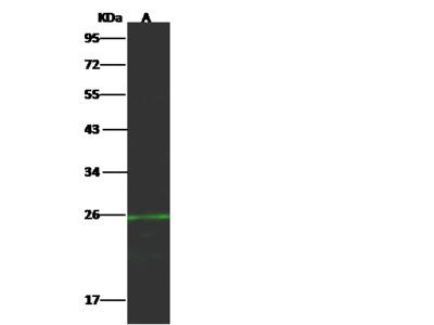 CD70 / CD27L / TNFSF7 Antibody, Rabbit PAb, Antigen Affinity Purified