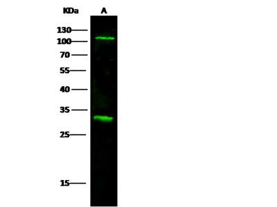 IL17RA / CD217 Antibody, Mouse MAb
