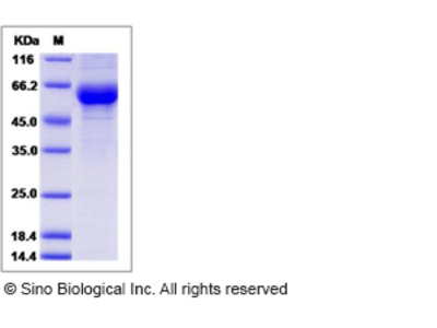 Mouse CREG / CREG1 Protein (Fc Tag)