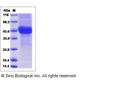 Human Follistatin / FST Protein (His Tag)
