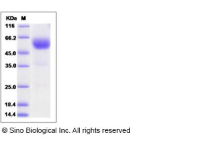 Human SCN2B Protein (Fc Tag)