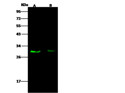 E2F5 Antibody, Rabbit PAb, Antigen Affinity Purified